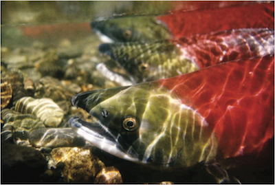 Wild Salmon in their native habitat. Photo courtesy of Save Our Wild Salmon